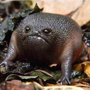 Rana Negra de las Lluvias Plantilla