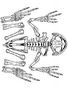 esqueleto de sapo para colorear