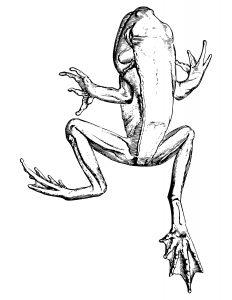 rana acuatica para colorear