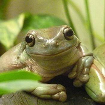 rana arbolícola (Litoria caerulea)
