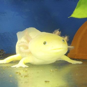 Ajolote albino dorado