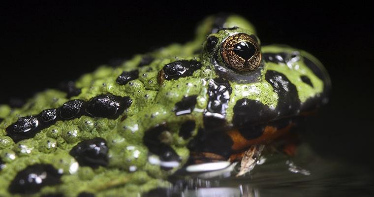 bombina orientalis anfibio mascota
