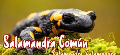 Salamandra fastuosa o común mascota nueva
