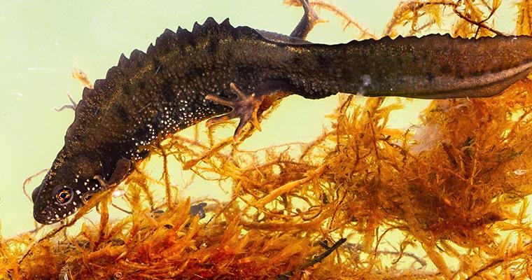 Triturus cristatus triton crestado nadando en el agua