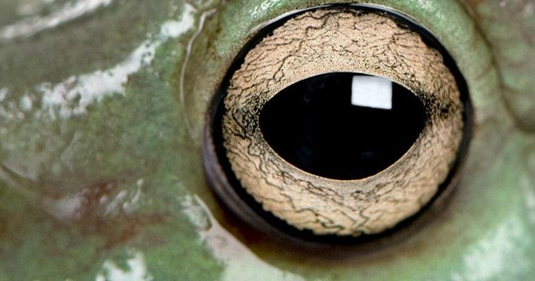 ojo de la rana arboricola