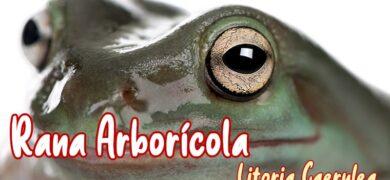 rana arboricola Litoria Caerulea mascota nueva