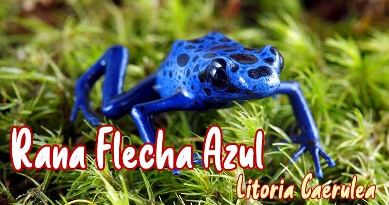 rana flecha azul mascota nueva