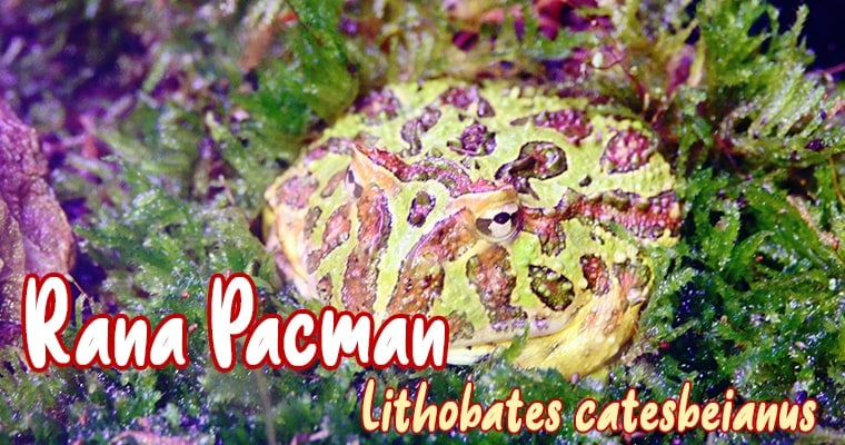 rana pacman mascota nueva