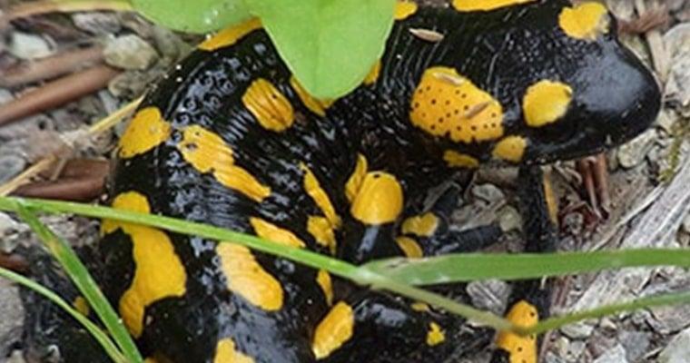 salamandra salamandra mascota