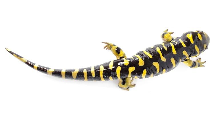 salamandra tigre Ambystoma tigrinum vista aerea