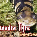 salamandra tigre mascota nueva