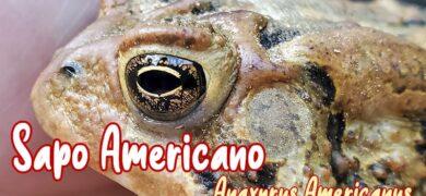 sapo americano mascota nuevo
