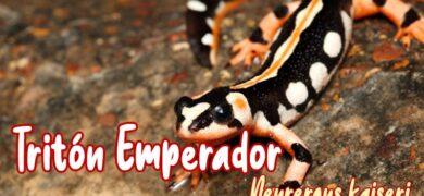 triton emperador o imperial mascota nueva