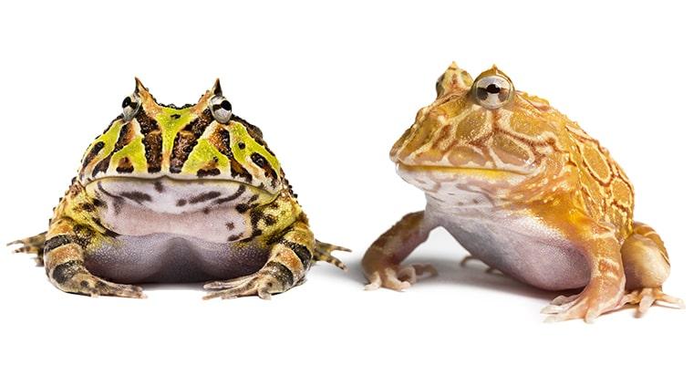 variaciones de color rana pac man