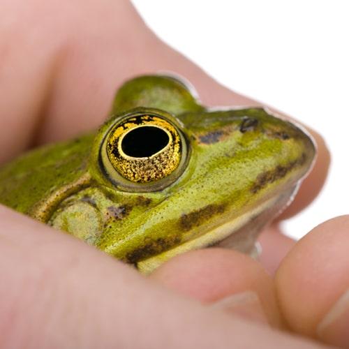 sosteniendo una rana